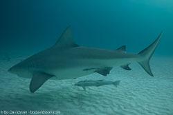 BD-101205-Playa-del-Carmen-2635-Carcharhinus-leucas-(Müller---Henle.-1839)-[Bull-shark.-Tjurhaj].jpg